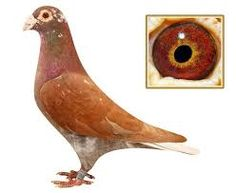 Image result for racing pigeon from belgium