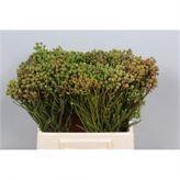 Kaaps Green Abrotanum! #Seasonal #Flowers #Wholesale #Kaaps