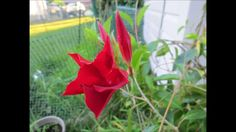 ✿ #VEDA 12 My beautiful red sun parasol Mandavilla vine flowers are bloo...  #veda day 12 video is up please subscribe and share!