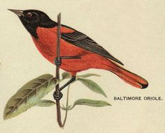 Vintage Graphic - Baltimore Oriole Bird - The Graphics Fairy