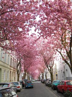 love cherry blossoms, CHERRY BLOSSOM AVENUE, GERMANY | Real WoWz