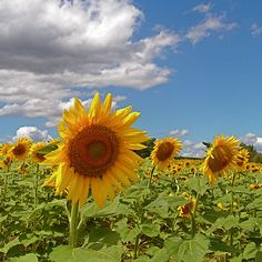 i would love to have sunflowers in my back yard one day.