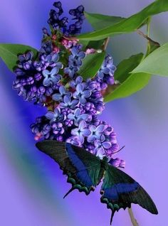 Purply blue LIlac sprig and butterfly