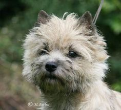 Cairn terrier                                                                                                                                                                                 More
