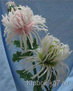 chrysanthemum   Clew