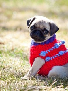 Archie the Pug in crocheted vest from @Melissa Squires Squires Langer