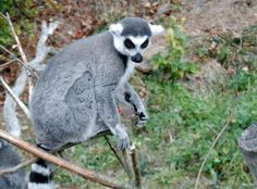 Ring tailed lemur at Blackpool zoo