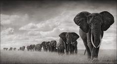 Africa's Elephants: On the Firing Line                                                                                                                                                                                 Mais