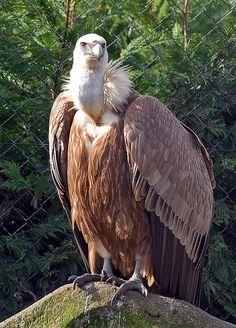 Griffon Vulture by Steve - 1.7 Million+ views - thank you, via Flickr