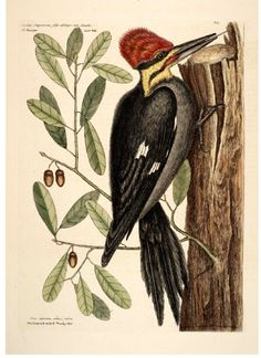 Vintage woodpecker illustration. Catesby. Scan of 2 d image in the public domain believed to be free to use without restriction in the US.