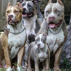 Not technically working line but i love the tri and merle colors! Amstaff Terrier, Pitbull Terrier, Mundo Animal, My Animal, Big Dogs, I Love Dogs, Beautiful Dogs, Animals Beautiful, Cute Puppies