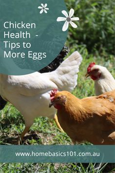 Tips to looking after your chickens = more eggs Farm Fun, Farm Animals, Your Pet, Health Tips, That Look, Eggs, Chicken, Friends, Amigos