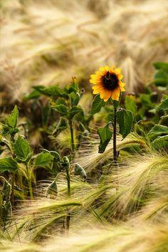 barley and sunflowers