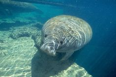 Manatee are gentle, slow-moving giants. I love to see them swimming in our waterways.