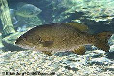 Tennessee designated the smallmouth bass as official state game fish in 2005. Tennessee recognizes a state commercial fish as well (the channel catfish).