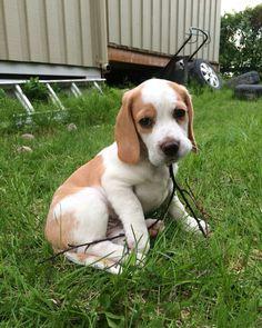 Lemon Beagle Puppy Dog