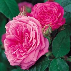 Gertrude Jekyll - David Austin Roses