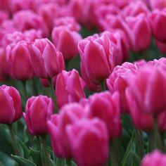 Tulip 'Involve'