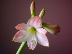 Photograph Amaryllis by Dominic Wade on 500px
