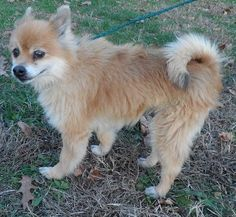 Meet Miller, an adoptable Pomeranian looking for a forever home. If you're looking for a new pet to adopt or want information on how to get involved with adoptable pets, Petfinder.com is a great resource.