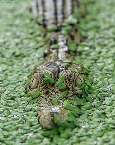 Hide and Seek - Crocodile