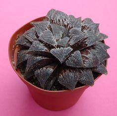 Haworthia Shadow Dancer (emelyae major X Keganii) in 9 cm pot