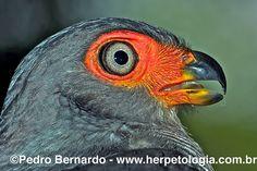 Cryptic-Forest-Falcon-(Micrastur-mintoni) | by Pedro H. Bernardo