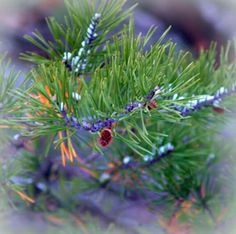 Early Pagans hung colorful ornaments from the Yule tree (usually a pine) to symbolize the various astral objects, as well as the moon, stars and sun, representing the souls of those who had died the previous year. From this ritual came the modern tradition of gift giving.
