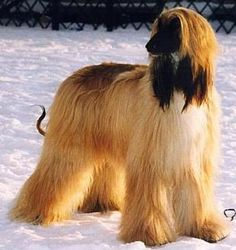 Afghan Hound Puppy Pictures