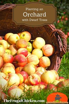 Planting an orchard is easy, but there's a few simple rules you should follow. Here's how to plant dwarf trees for fresh fruit in your own backyard.: