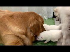Excited Golden Retriever Meeting Best friends Newborn Pups - YouTube Capricorn Sign, Pup, Best Friends, Facebook, Dogs, Youtube, Animals, Beat Friends, Bestfriends