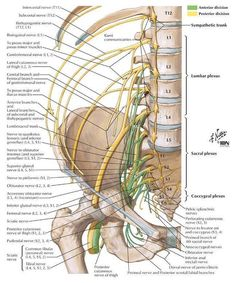 The Lumbosacral Plexus What Is the Lumbar Plexus? Written By: S.E. Smith  The lumbar plexus is a nerve plexus an area which a group of spinal nerves intersect which innervates muscles in the lower body. This cluster of nerves is part of the larger lumbosacral plexus which includes the lumbar plexus sacral plexus and pudendal plexus. Understanding the location and function of the nerves in the lumbar plexus is important to medical practitioners in a number of fields. This nerve plexus…
