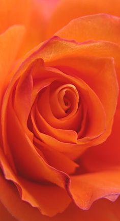 Beautiful Rose Flowers, Pretty Roses, Love Rose, All Flowers, Exotic Flowers, Amazing Flowers, My Flower, Flower Art, Orange Twist