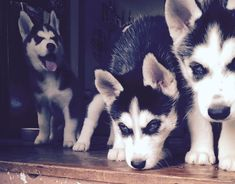 Boyfriend hasn't stop obsessing over Siberian Husky puppies so this is definitely in my future #siberianhusky