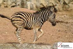 Zebra im Zoo von Bangkok Places Around The World, Around The Worlds, Thinking Day, Lush Green, Zebras, Thailand, To Go, Normal Birth, Footprints