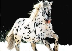 i once worked on an appaloosa ranch.  there were over 100 appaloosa'a and i knew each and every ones name.  i miss them all.