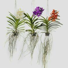 Orquídeas Wanda