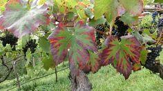 Die Trauben sind reif - nicht mehr lange und die Bauern beginnen mit der Weinlese