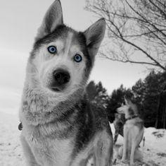Husky eyes!♥
