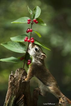 Eating berries, by Andre_Villeneuve.