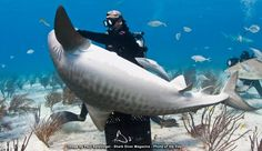 Image by Paul Spielvogel  http://www.sharkdivermag.com/