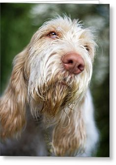 Orange And White Italian Spinone Greeting Card by Heidi Anne Morris