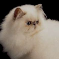 Looks just like my Jessie, Crazy Cat Lady, Crazy Cats, Himalayan Cat, Long Haired Cats, Persian Kittens, Exotic Shorthair, Pet Day, Fluffy Cat, Cute Cats And Kittens