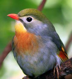 Pekin Robin (Chinese Nightingale Baird for me and my BFF