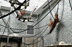Orangutan chase II