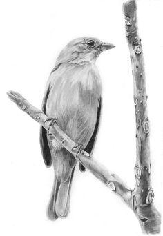 Ilustração Científica em grafite. Pássaro Saíra-amarela (Tangara cayana)