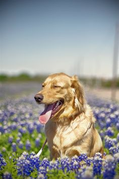 My Golden, Isabella: Enjoying the Texas State Flower dog in flower field - FULL MOVIE - Watch Free Full Movies Online: click and SUBSCRIBE Anton Pictures  FULL MOVIE LIST: www.YouTube.com/AntonPictures - George Anton -