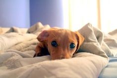 those adorable doxie eyes <3