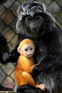 Awesome hair styling for a mother and baby monkey.
