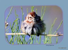 Song Sparrow nature print by MoInKiBeadDesigns on Etsy, $20.00